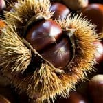 Difference between Chestnuts and Conker