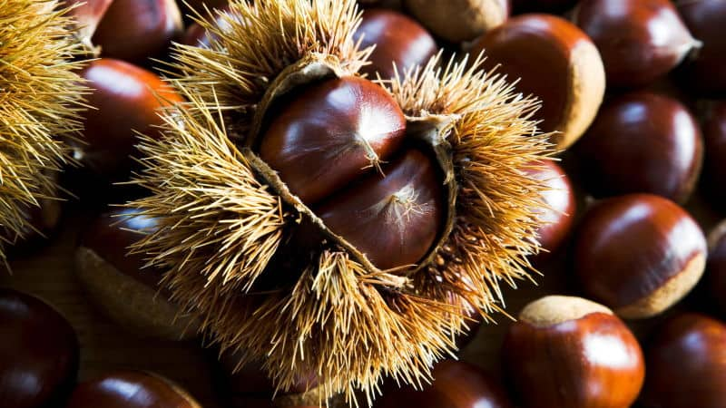 Difference Between Chestnuts And Conker1